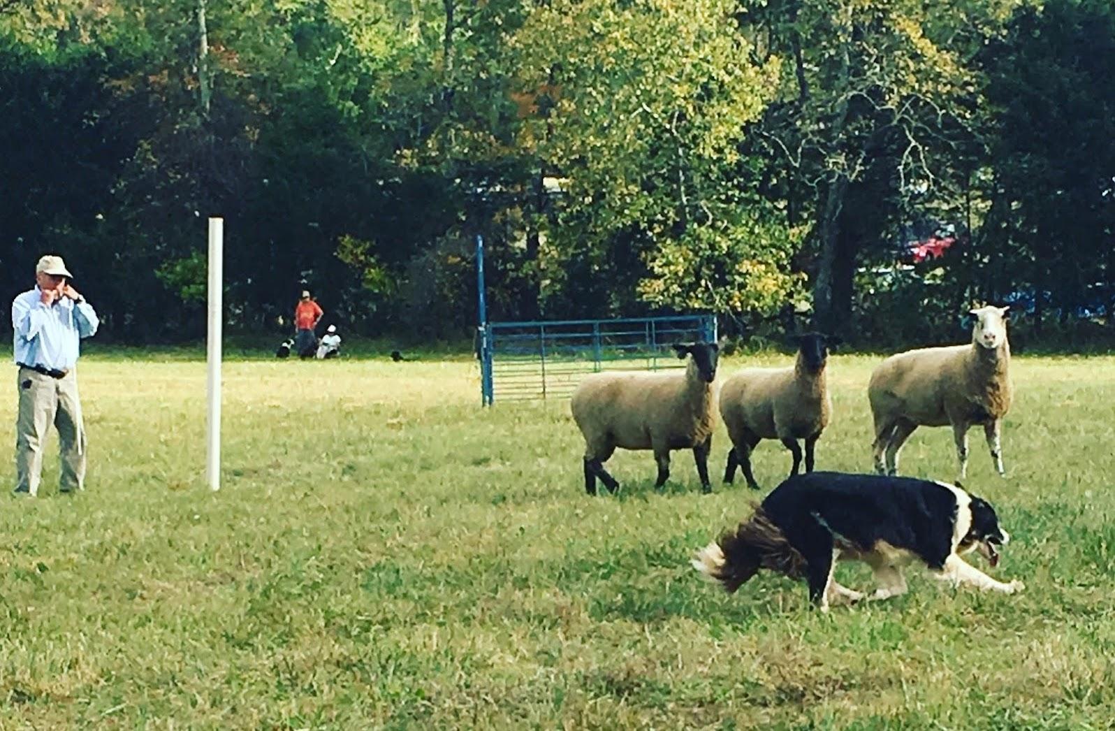 Fall Fiber Festival - Sheepdog Trial